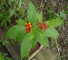 Asclepias curassavica - Blood flower