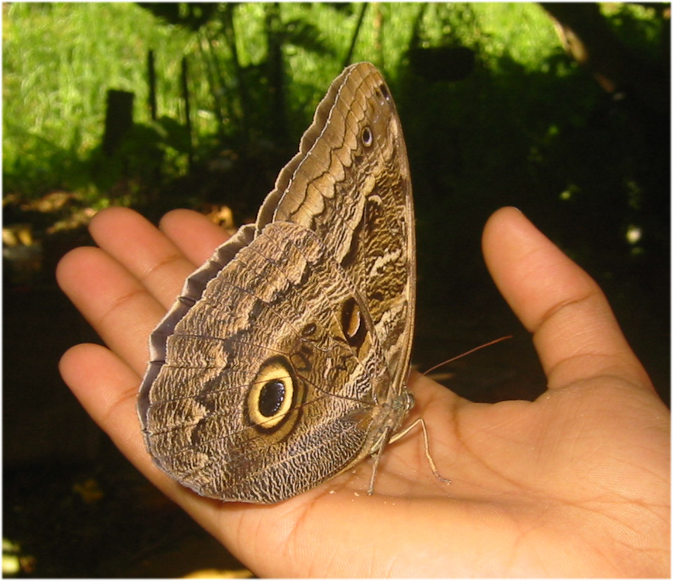Caligo owl butterfly