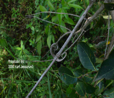 Uncaria guianensis hook-like thorns