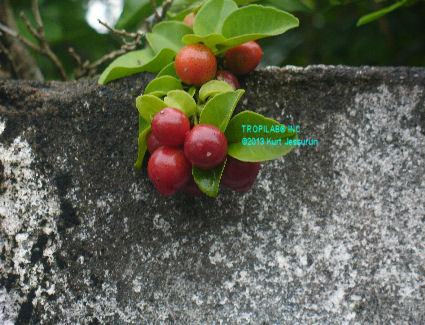 Lime berry fruits