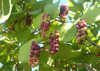 Seagrape fruits