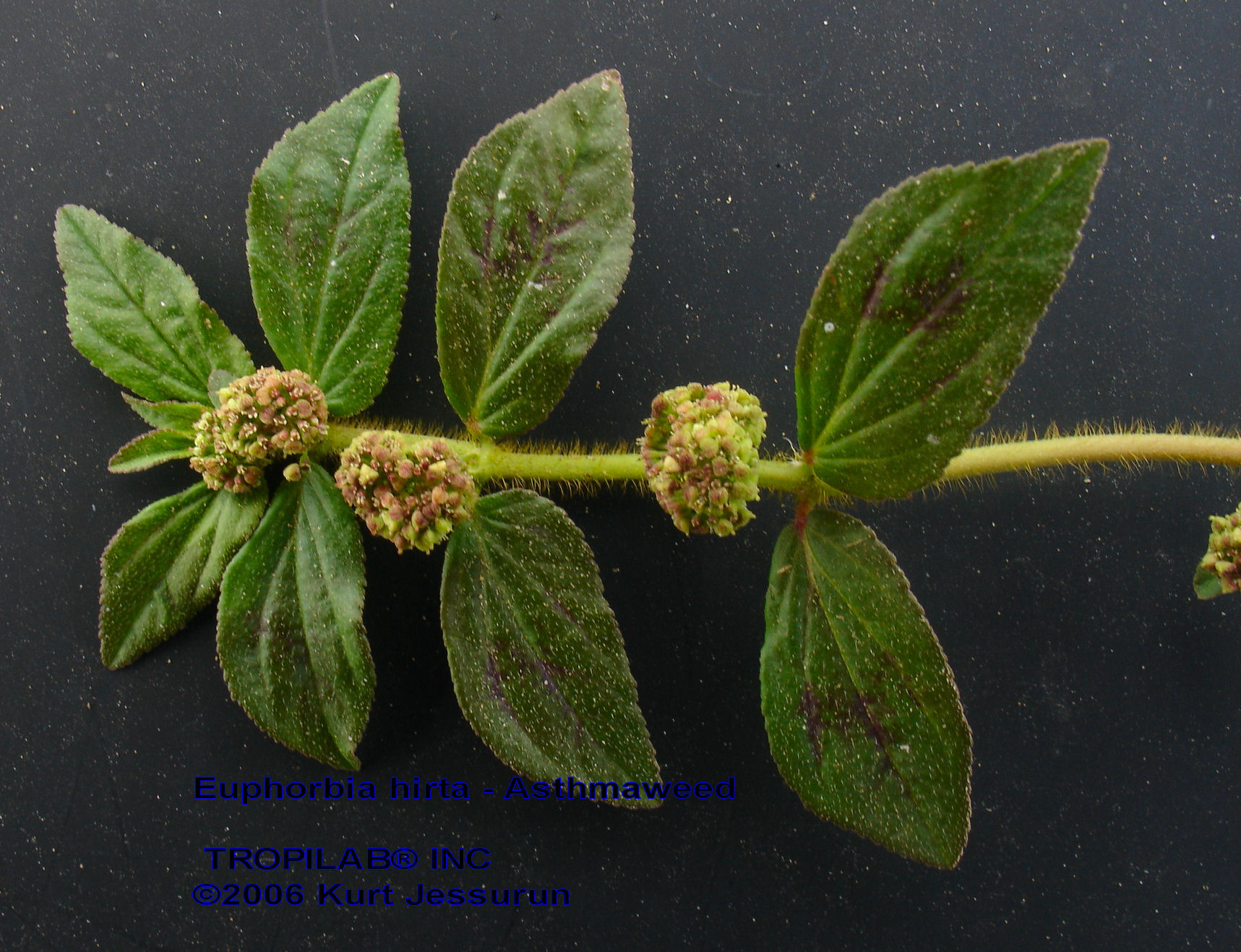 euphorbia hirta A common herb in suriname used against asthma, bronchitis, dengue.