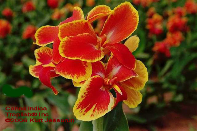 Canna indica - Indian shot (cultivated)