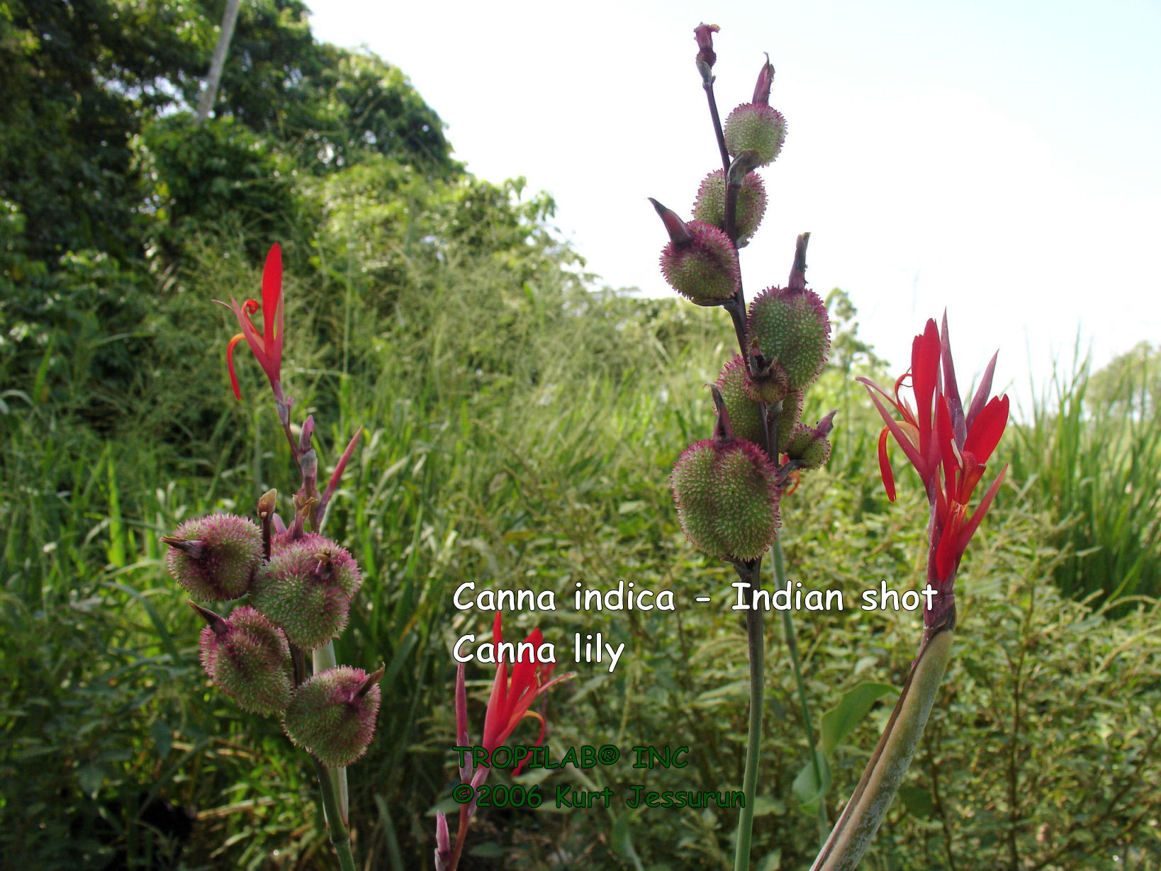 Red Canna indica - Indian shot