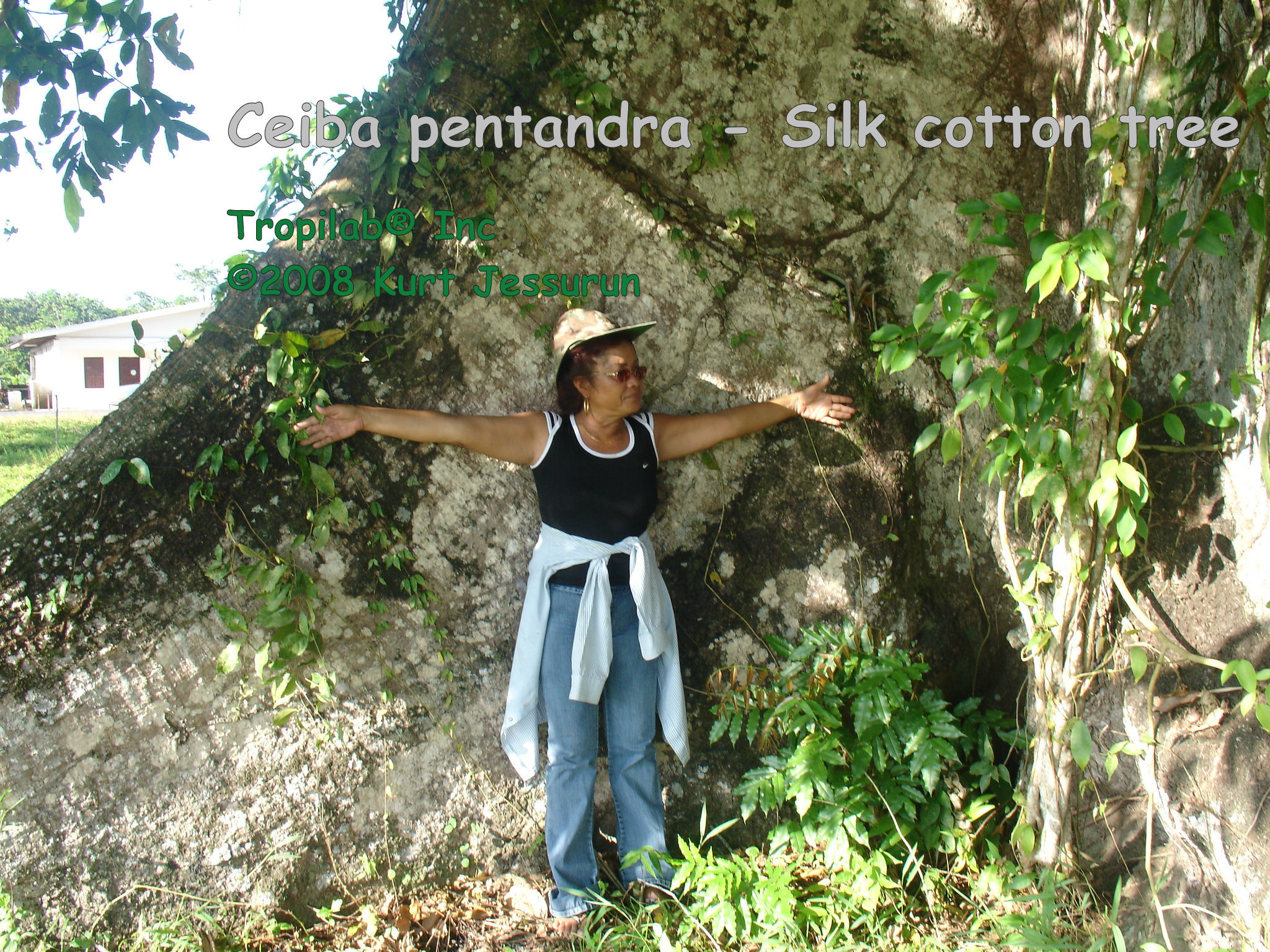 Ceiba pentandra - Silk Cotton tree