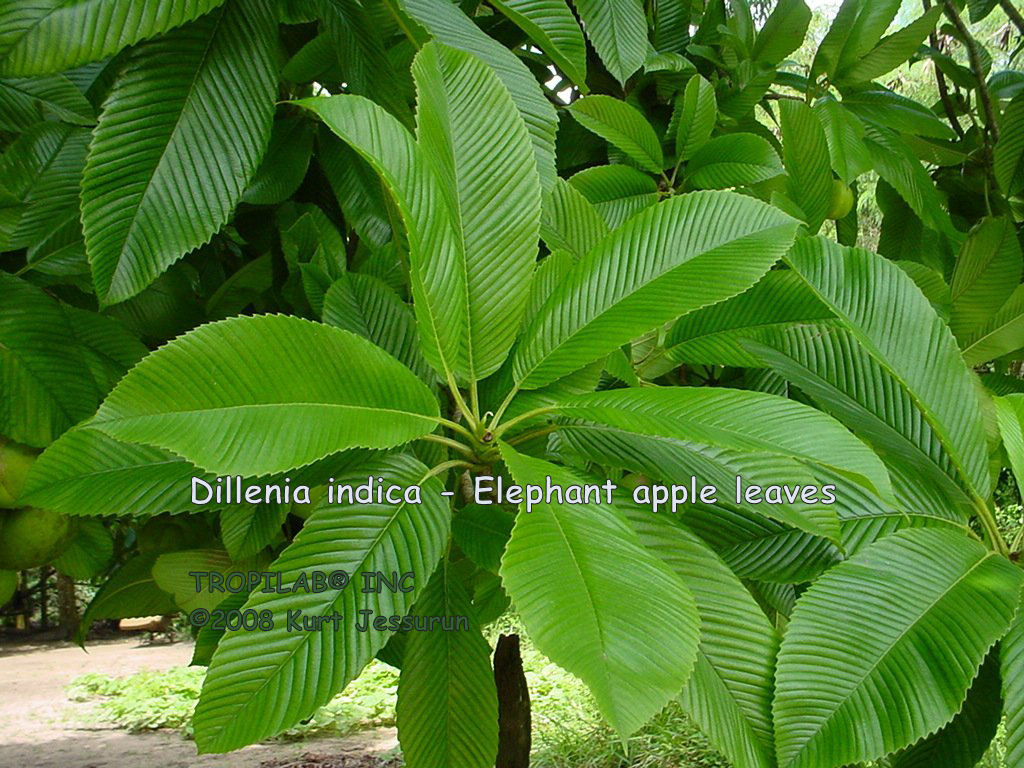 Dillenia indica - Elephant apple leaves