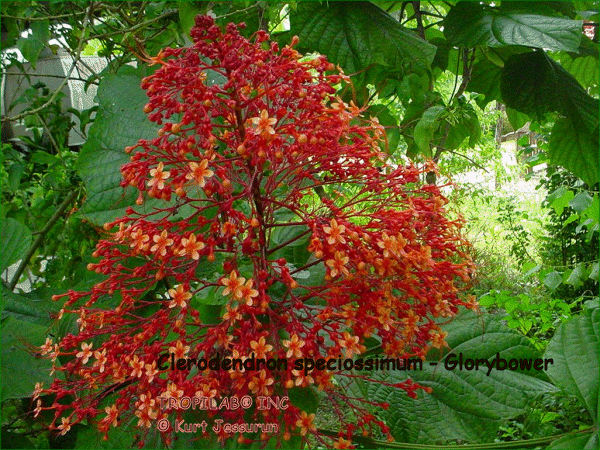 Clerodendron speciossimum - Glorybower