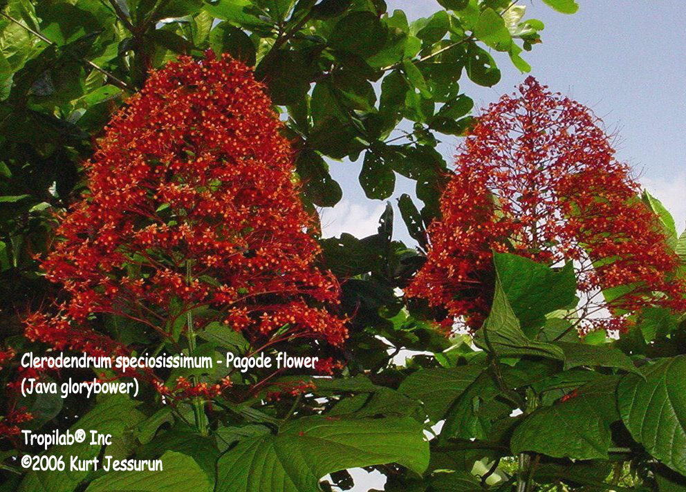 Clerodendron speciossimum (Glorybower)