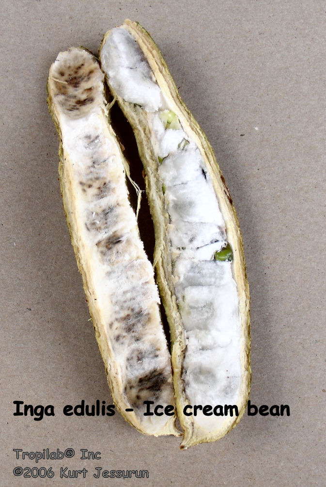 Inga edulis - Ice cream bean