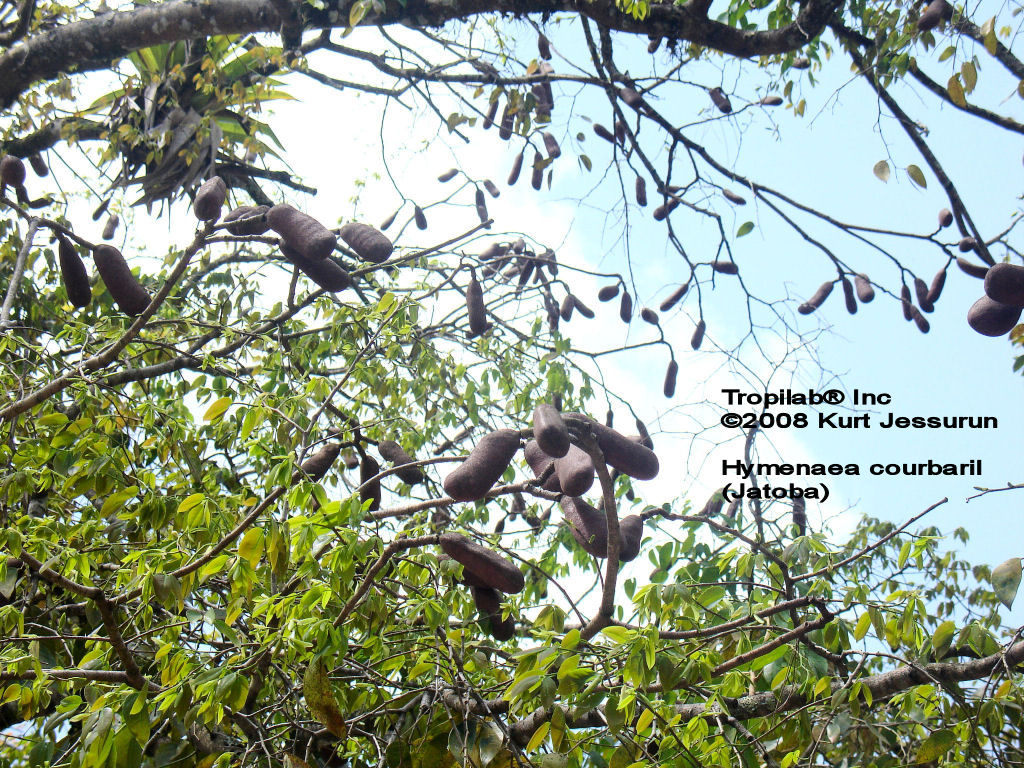 Hymenaea courbaril seedpods