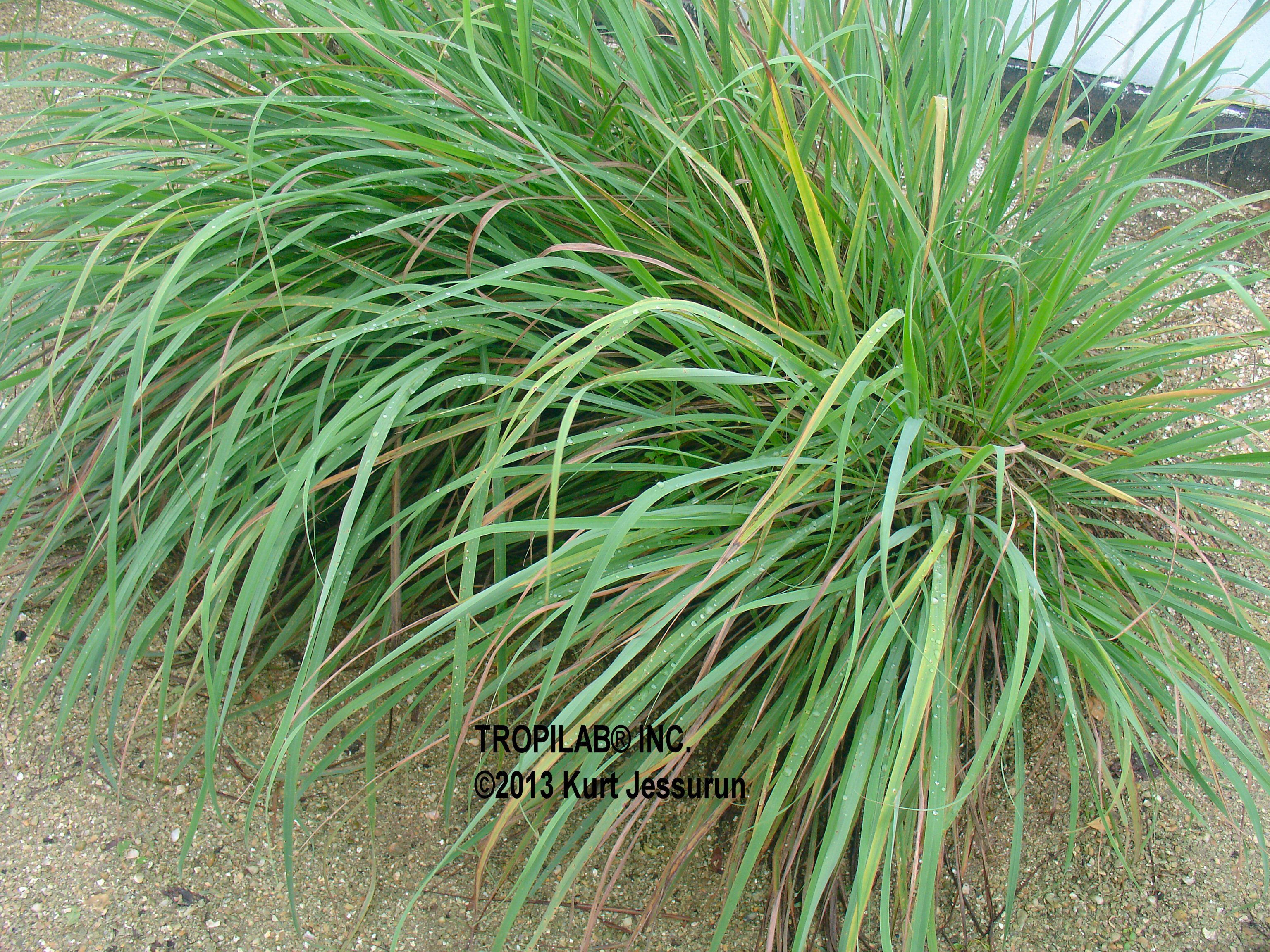 the effectivity of lemon grass cymbopogon Cymbopogon citratus (lemon grass) oil has been known as effective insect repellent its effectiveness in mosquito repellence has also been documented [21],[22.