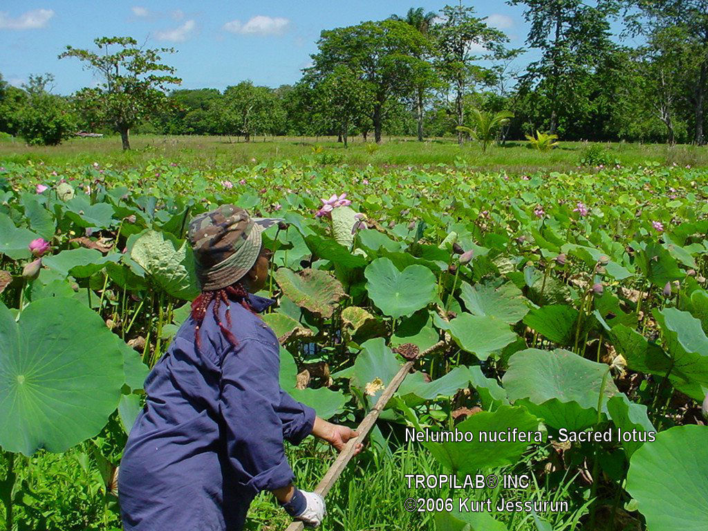 Collecting Nelumbo nucifera flowers