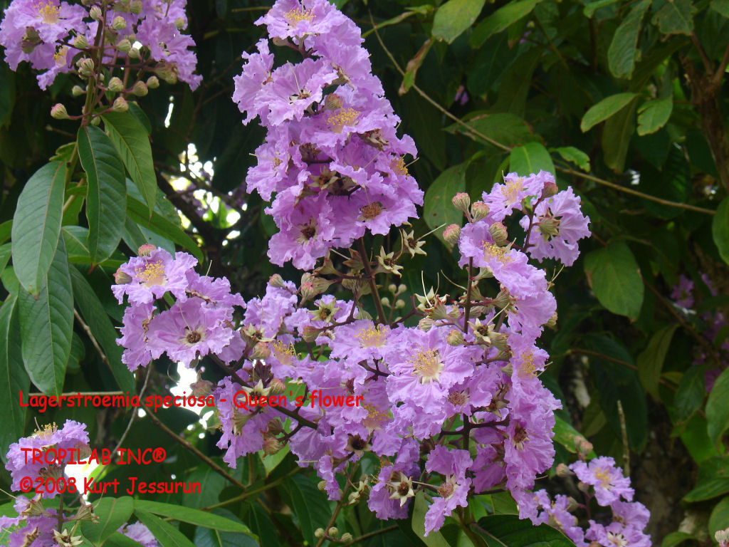 Flowers of Lagerstroemia speciosa - Queen's flower