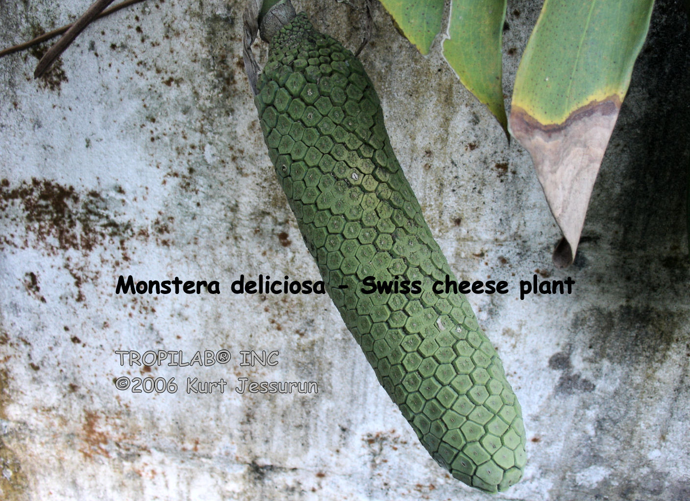 Monstera deliciosa - Swiss cheese plant fruits
