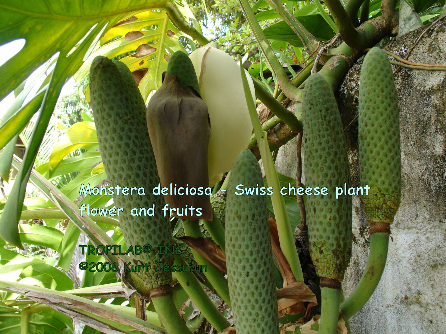 Monstera deliciosa - Swiss cheese plant flower and fruits